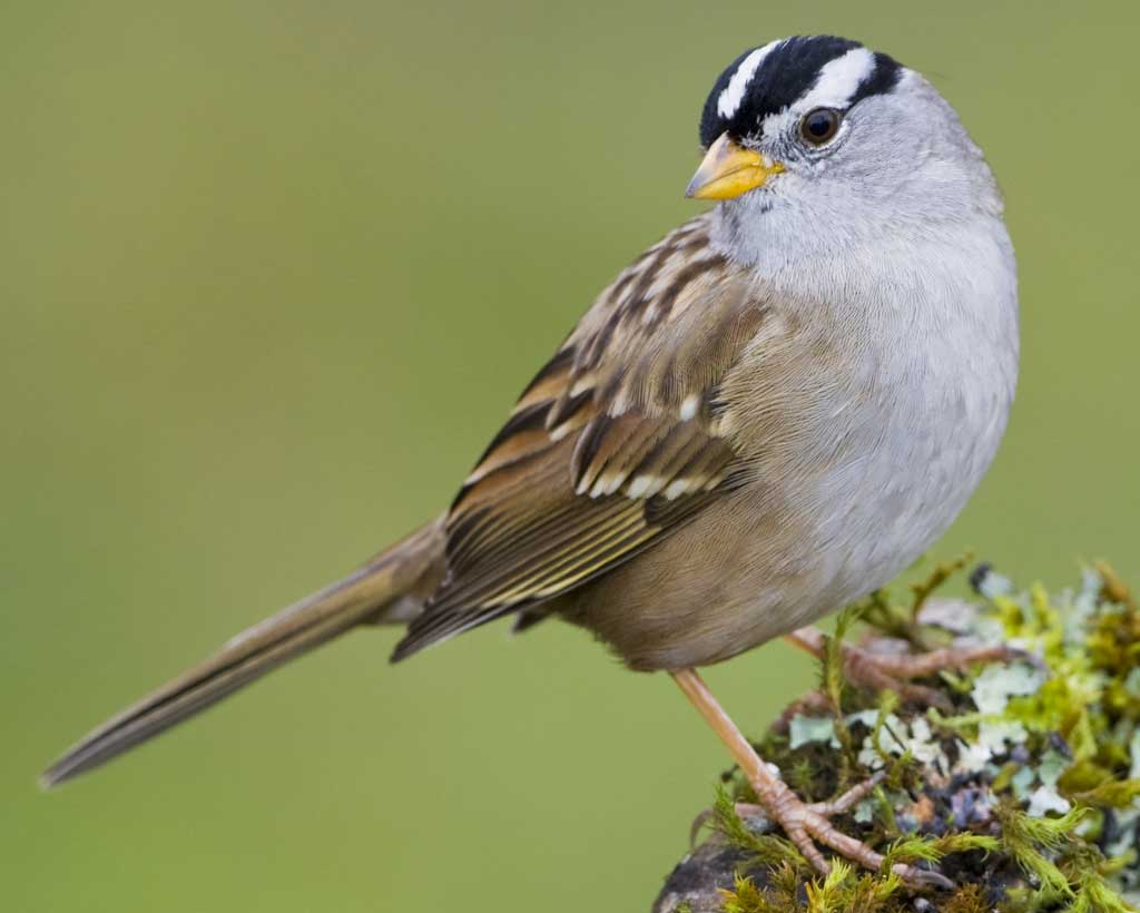 white-crowned_sparrow_b57-5-260_l_1